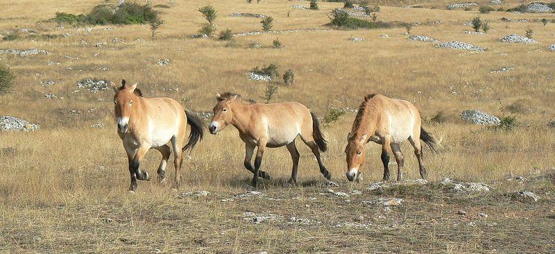 chevaux-przewalski-lozere
