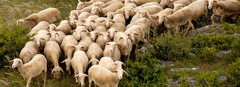 Aveyron : le roquefort est fait avec du lait de Brebis