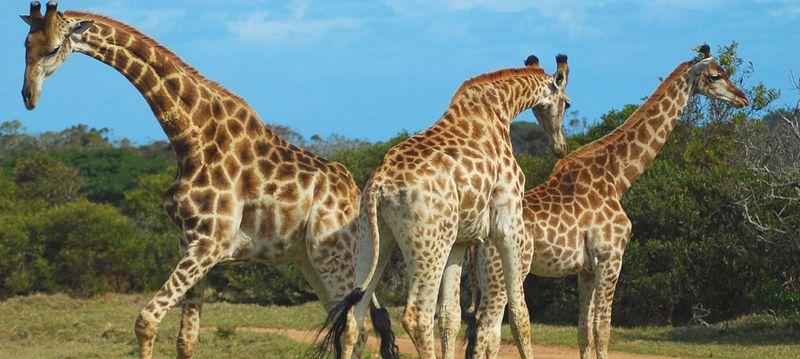 Girafes de la réserve de Sigean