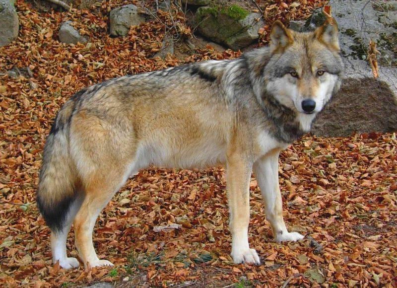 loups du gévaudan en Lozère